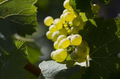 Perrier-Jouët - Vineyards 4