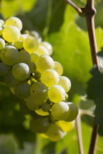 Vignes Perrier-Jouët crédits Gérard Uferas
